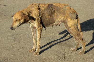 В центре Коркино отловлена собака с бешенством