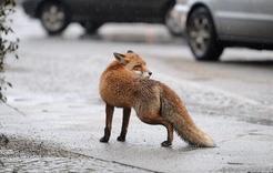 В черте Коркино появились лисы