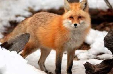 В Коркино снова отловлена лиса
