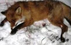 Найденная в Коркино лиса оказалась бешеной