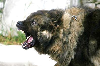 В Коркино пришлось застрелить агрессивную собаку