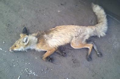 В Коркино дикая лиса покусала детей и пенсионера