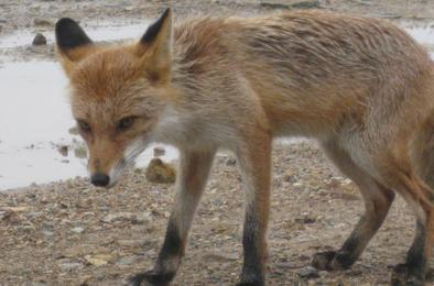 Отстреленная в воскресенье лиса оказалась бешеной