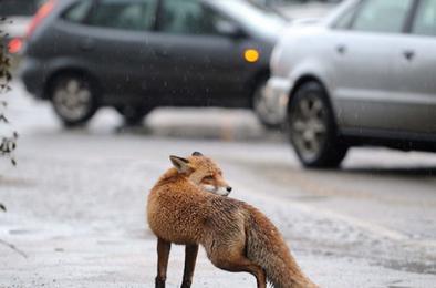На территории Коркино могут появиться лисы
