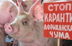 В Челябинской области – вспышка африканской чумы свиней