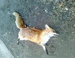 Обнаруженная вблизи Коркино лиса оказалась заражена бешенством, надо прививаться