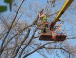 В Коркино приступят к опиловке разросшихся деревьев