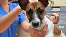 В Коркино пройдёт вакцинация домашних животных от бешенства