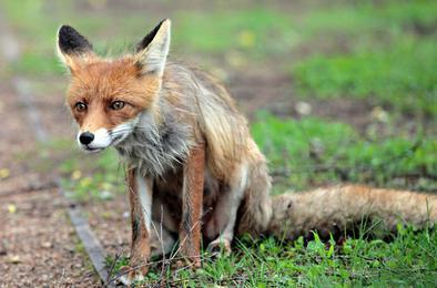 В Коркино на автостоянке обнаружили дикую лису