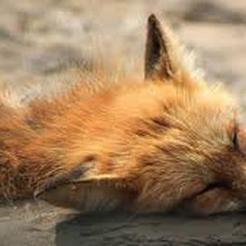 Отстреленная в Коркино лиса оказалась больна бешенством