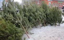 В Коркино скоро разрешат торговлю новогодними ёлками