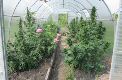 Жительница Розы выращивала коноплю в промышленных масштабах