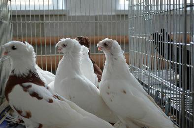 Приглашают на выставку собак и голубей