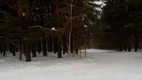 За незаконную рубку хвойных деревьев - штраф