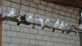 В Челябинске обнаружены больные голуби