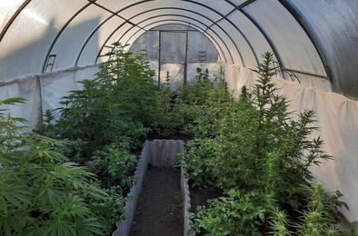 Житель Розы вырастил дома урожай конопли
